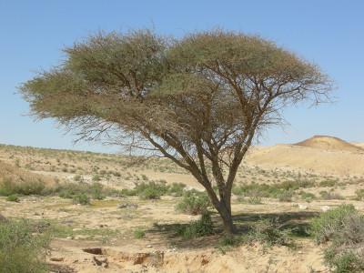 Acacia_Negev1