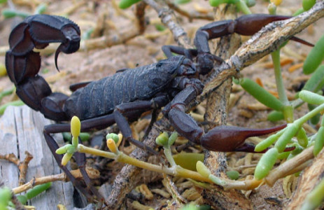 Black_scorpion