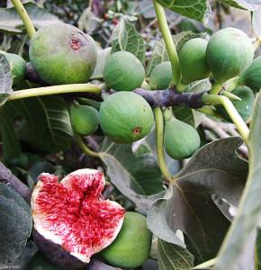 Ficus_carica_FigsRipening