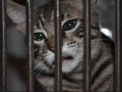 Sad cat in cage, by Giordano