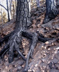 IMG_3972 Dark ravine roots