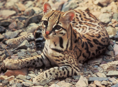 An ocelot's protective coloration