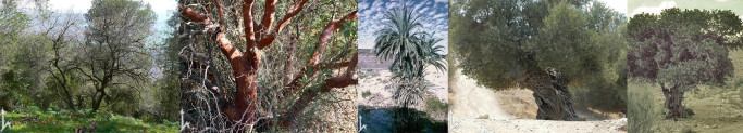 Tabor Oak, E. Strawberry, Date Palm, Olive, Carob. All photos Flora of Israel Online, Hebrew University