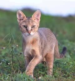 Jungle Cat baby